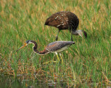 tricolor heron fishing and limpkin eating
