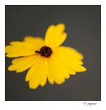 coreopsis with guest