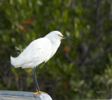 snowy egret perched on the rail