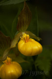 Large Yellow Lady's Slippers