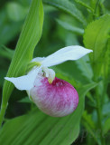 showy lady's slipper orchid