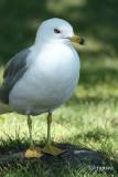 ring bill gull