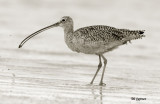 curlew in black and white