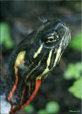 Turtle Snout