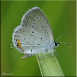 Eastern Tailed Blue Male