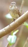 Mr. Palm Warbler (again)