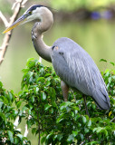 Another Great Blue Heron hanging about - I think a different one - hard ta tell some of them apart ??