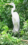 A Great White Egret checkin me out