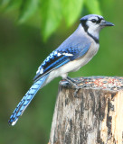 the tough BlueJay is almost 1st to the feeding