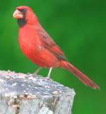 Mr. Cardinal keeps a watchful eye on me