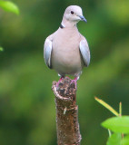 this really cool Ringnecked Dove is pretty friendly