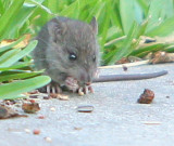 Mr. Mouse lives on the edge of where I feed the songbirds