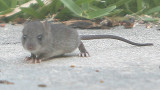 Mr. Mouse lookin for some crumbs