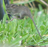 Mr. Mouse jumping over the grass blades; running from Mr. Black Snake !!