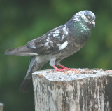 the local Pigeon likes the songbird feed