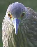 the very immature Black-Crowned Night Heron's Close-Up !