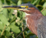 A little closer to Green-Backed Heron !!