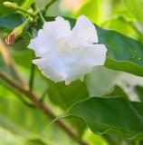The Gardenia Bush