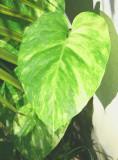 Yard Leaf pretty large