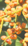 Ripe Palm Berries that Birds just love