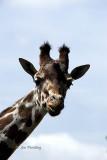 Female giraffe [2]
