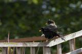 Blackbirds drying after a bath