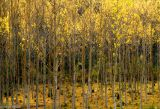 Chopos / Black-poplar trees