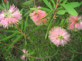 A closer look at  the pink callistemon
