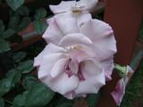 frail rose