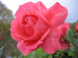 Rose int the winter