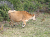Yersey cow at Cape Otway