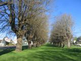 Elm trees in Camperdown