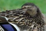 Mallard Resting with one eye open