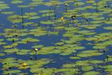 Pond Lily Pads
