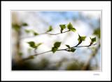Silver Birch 3
