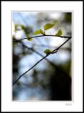Silver Birch 4
