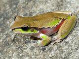 Aussie Frogs