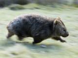 Speeding wombat