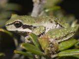 Tasmanian Tree Frog, Saganura burrowsae