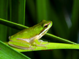 Easten Dwarf Tree Frog, Drymomantis fallax