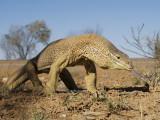 Goannas or Monitor Lizards, family Varanidae