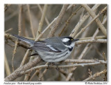 Paruline grise - Black throated gray warbler