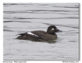 Macreuse brune - White winged scoter