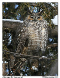 Hibou moyen duc - Long eared owl