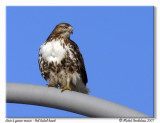 Buse à queue rousse  Red tailed hawk