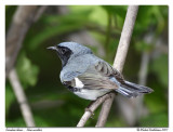Paruline bleue - Black throated blue warbler