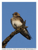 Hirondelle à ailes hérissées - Northern rough winged swallow