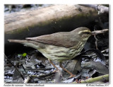 Paruline des ruisseaux  Northern waterthrush