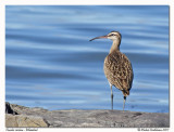 Courlis corlieu - Whimbrel