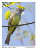 Tyran huppé - Great crested flycatcher
